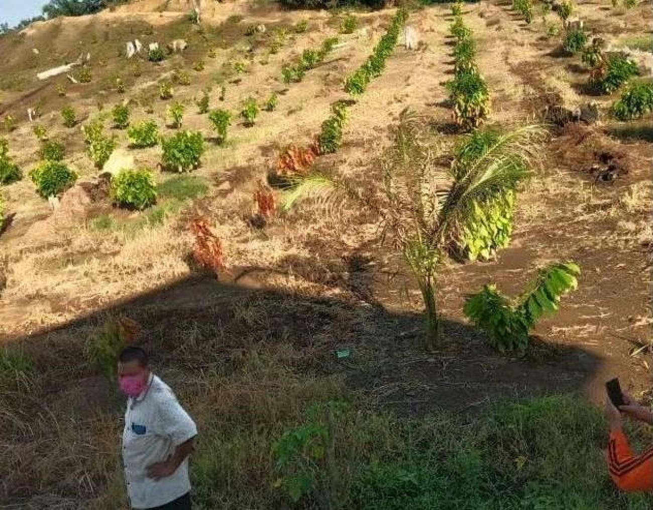Semangat Petani Kakao di Tengah Serangan COVID-19
