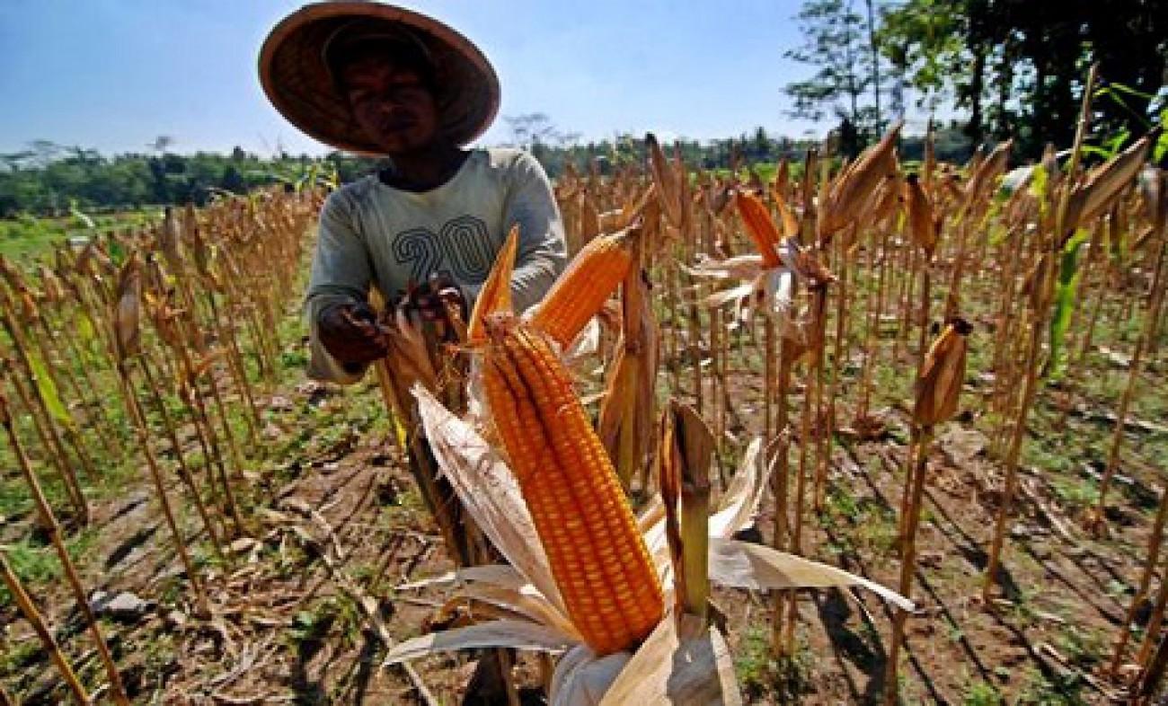 Penanaman Jagung Di Lahan Perkebunan, Kaltim Siapkan 3.688 Hektar