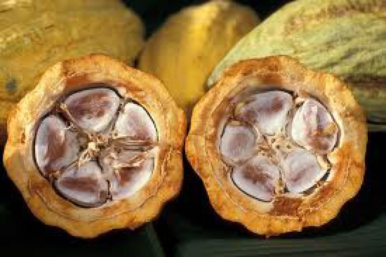 Bea Keluar Biji Kakao April Tetap 5%