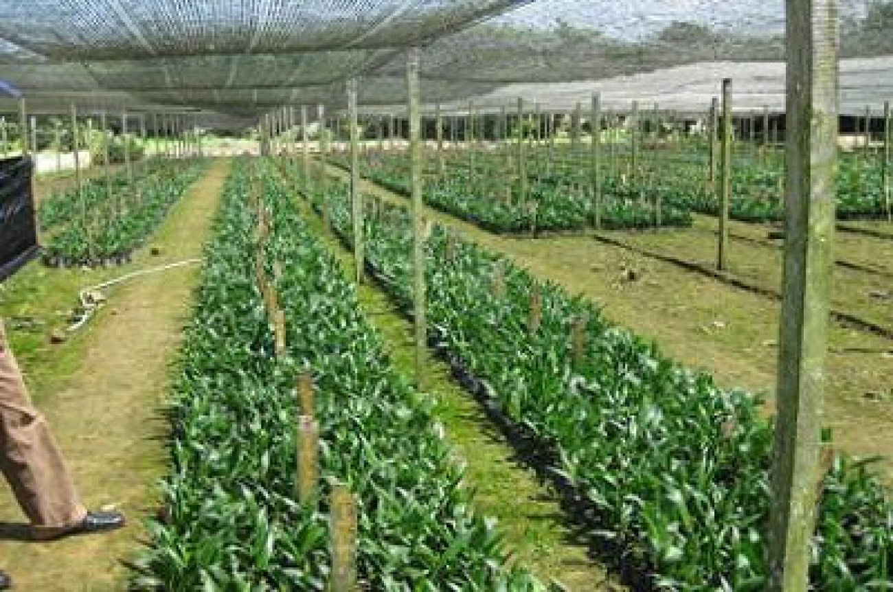 Pemerintah Stop Impor Benih Sawit