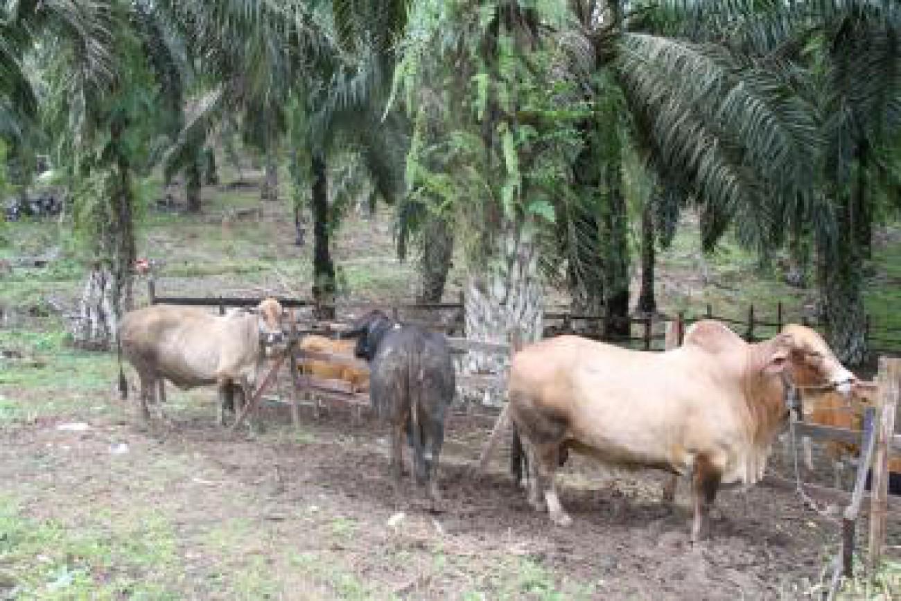 Perkebunan Sawit Lumbung Pakan Ternak