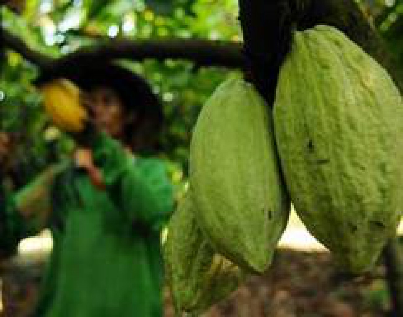 Kutai Timur Gandeng Sulbar Kembangkan Kakao