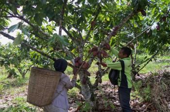 Genjot Produksi Kakao Kaltim