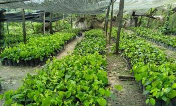 Retribusi Sertifikasi Benih Perkebunan Sumbang PAD Rp. 62Juta