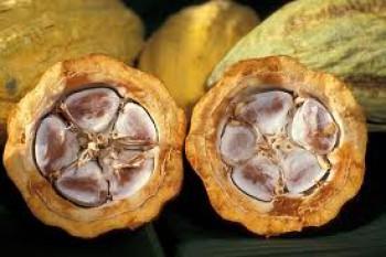 Dewan Kakao Internasional Dukung Gerakan Kakao Indonesia