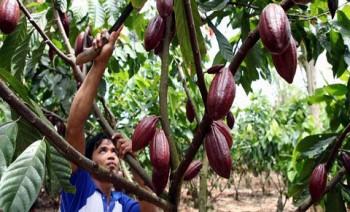 Kakao di Kaltim Tergerus Tambang