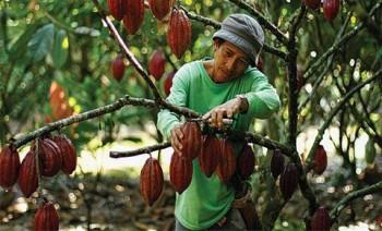 Terdesak, Kakao Butuh Nilai Tambah