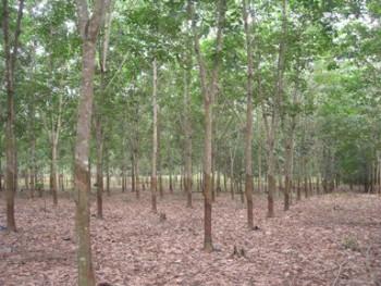 34 Ribu Hektare untuk Tanam Karet