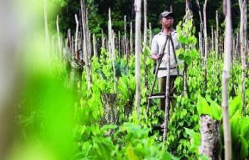 Disbun Intensifikasi 800 Hektar Lahan Lada