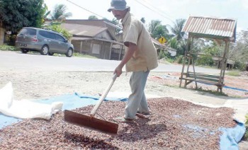Bulan Mei, Harga Jual Biji Kakao Asal Mahulu Memuaskan