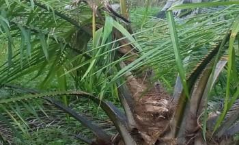 Waspada Serangan Hama Kumbang Oryctes Rhinoceros Pada Tanaman Kelapa Sawit