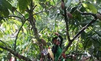 Biocoating Untuk Pengendalian Hama PBK