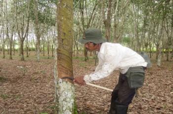 Petani Karangan Kembangkan Karet dan Kakao
