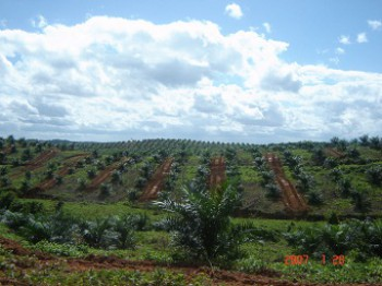 Disbun Kembangkan Sawit di Lahan Kritis
