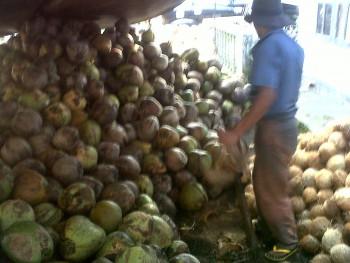 Melirik Potensi Perkebunan Kelapa di Penajam Paser Utara