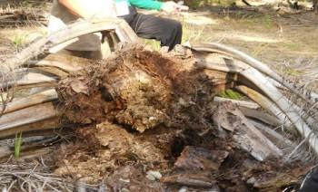 Delapan Hektar Sawit Terserang Penyakit Ganoderma