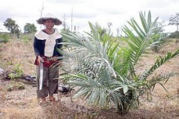 Kecamatan Kongbeng dan Muara Wahau Pioner Sawit di Kutai Timur