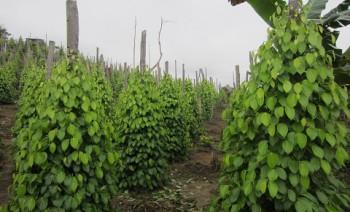 Disbun Intensifikasi 300 Hektar Lahan Lada