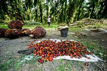 Apkasindo: Wilayah Penajam Potensial Kembangkan Perkebunan Sawit