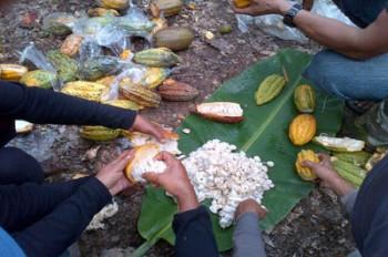 Petani Dilatih Budidaya Kakao Yang Benar dan Baik