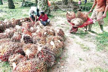 Petani Antisipasi Penurunan Harga Sawit