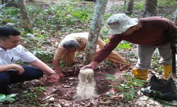 Identifikasi & Pengendalian Jamur Akar Putih di Desa Sumber Sari, Kota Bangun