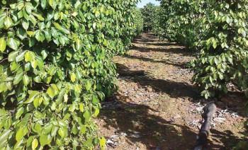 Petani Lada Kaltim Kekurangan Pupuk Organik