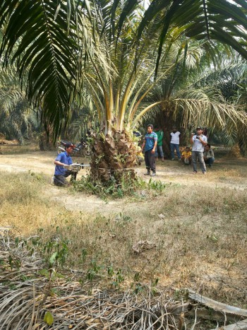 Kegiatan Pemusnahan Tanaman Kelapa Sawit Yang Berasal dari Bibit Palsu